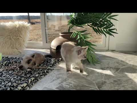 12 week old Ragdoll kittens playing in the sunshine