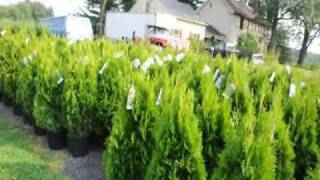 About Emerald Green Arborvitae spacing of plants