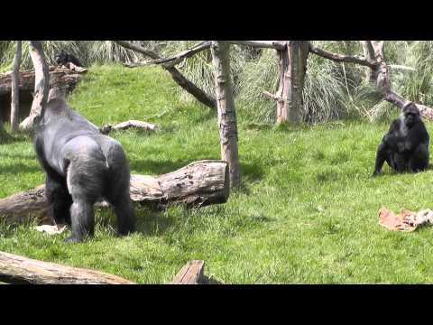 Kumbuka - Silverback Gorilla at London Zoo