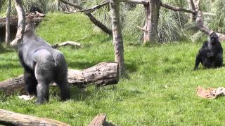 Kumbuka - Silverback Gorilla at London Zoo