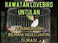 Rawatan Lovebird Untulan Paud Dewasa Agar Bongkar Durasi  Mp3 - Mp4 Download