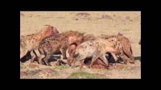 【動物】人間でライオンの攻撃 - 最も驚くべき野生動物の攻撃ʕ •̀ o •́ ...