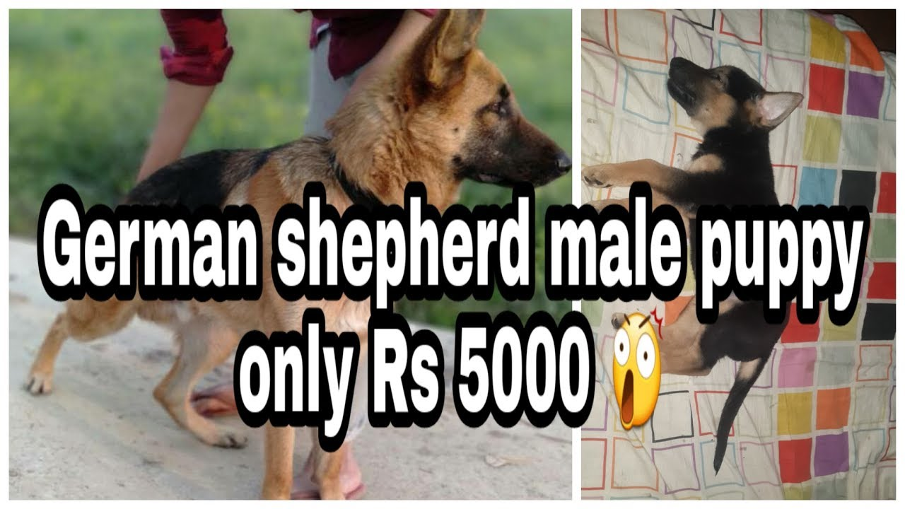 Gsd Puppy Male Only Rs 5000 Youtube