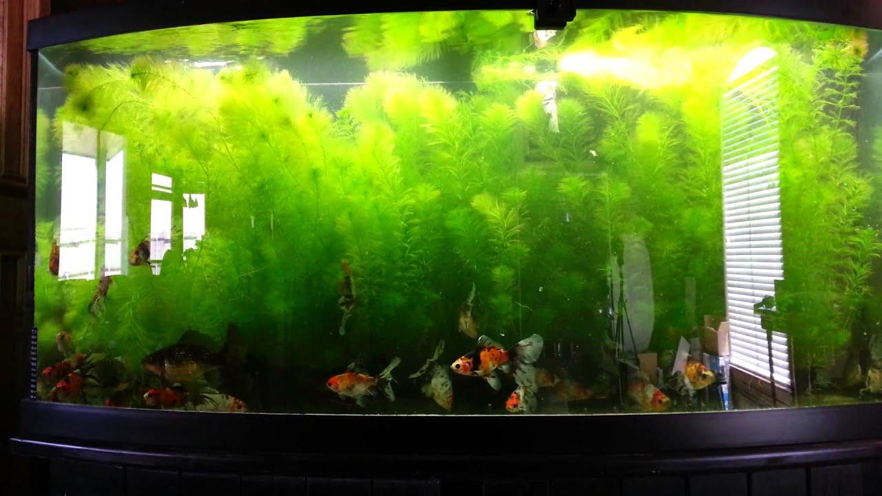 Planted bristol shubunkin goldfish tank youtube for Fancy fish tanks