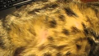 Котята в животе у кошки
