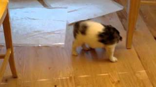 Border Collie Mix Puppy Playing With Nylon Bone