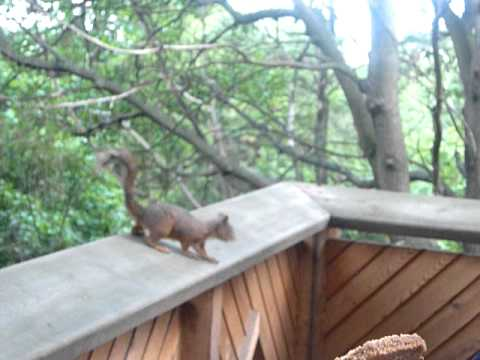 Squirrel eats and plays in Skansen  - Zoo - Stockholm