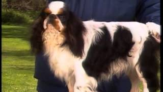 English Toy Spaniel - Akc Dog Breed Series