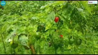 GI Registration Approved For Dalle Khursani (Red Cherry Pepper) Of Sikkim