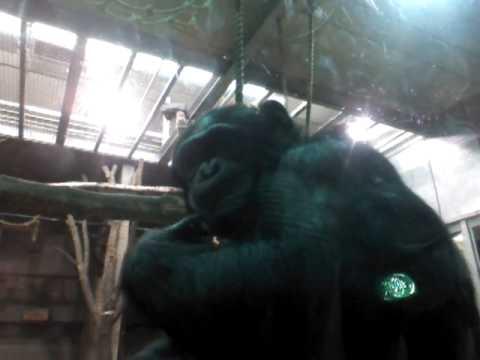 Chimpanzee watching herself on tablet screen.