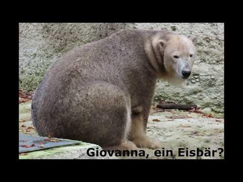 Giovanna Ein Eisbär Giovanna A Polar Bear Youtube