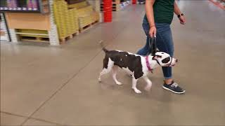 Daisy Impulse Control Loose Leash Handling Dog Encounter