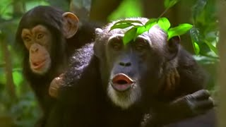 Human and primate relationship | Cousins | BBC