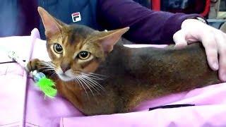 Абиссинская Кошка КРАСАВИЦА - Выставка | Породы КОШЕК