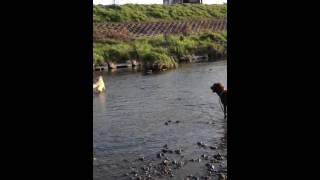 川で遊びました♥ 30cm以上のでっかい鯉がいっぱいいたので、Rayは警戒気...