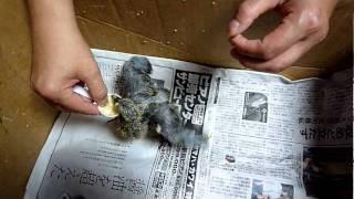 生後13~14日目位の鳩の赤ちゃんが、親に育児放棄されて玄関先で鳴...