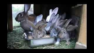 кролики без прививок(продолжение сдесь http://youtu.be/ECVjpvd-zCY Просторная клетка и окно защищено сеткой от каморов.-хорошое многоразово..., 2012-08-26T17:44:57.000Z)