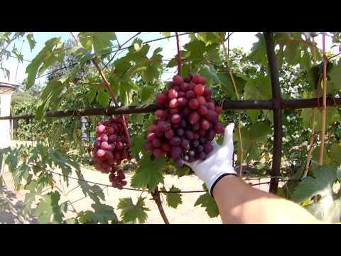 Урожайные сорта винограда / Сорт виноград Полонез 50 / Виноградник АРТУРА