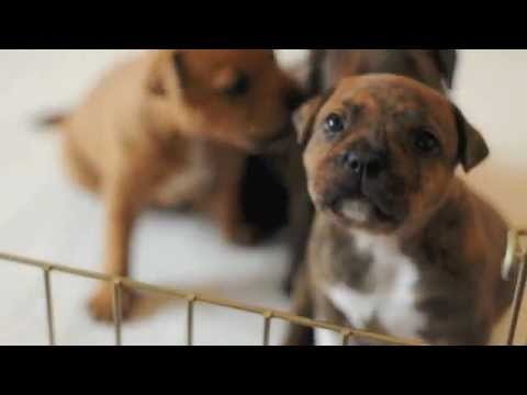 Staffordshire Bull Terrier Puppies - 3w5d