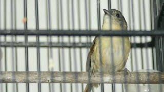 Wergan Jawa   flamboyan Gacor full isian Masteran Murai