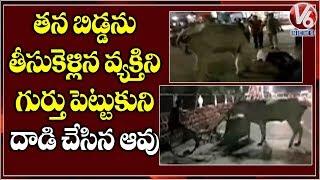 cow-attacks-on-rickshaw-man-for-removing-calf-carcass-in-machilipatnam-v6-news