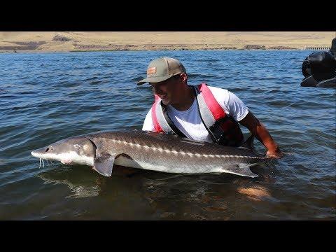 Catching MASSIVE White Sturgeon - Fishing The Columbia River In Washington