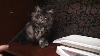 ЛИРИКУМ Жень- Шень  4 месяца с хвостиком/  шикарный крупный котенок мейн-кун