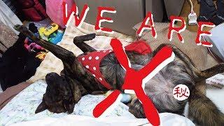 2016年大晦日の出来事です。甲斐犬が眠ったままX JAPANで年を越しました...
