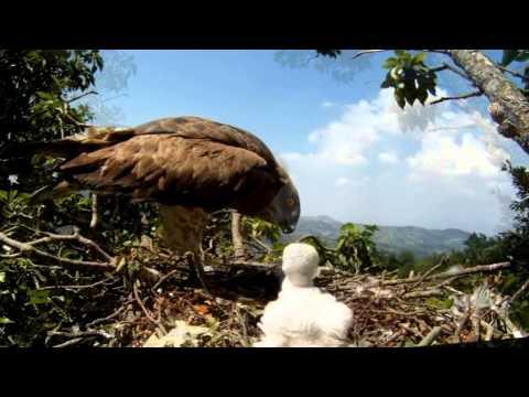 Parco dei Castelli Romani: nidificazione Biancone (Circaetus gallicus)