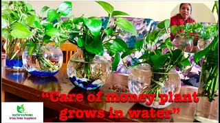 Care of Money Plant Grows in Water (Hydroponics) #moneyplant #…