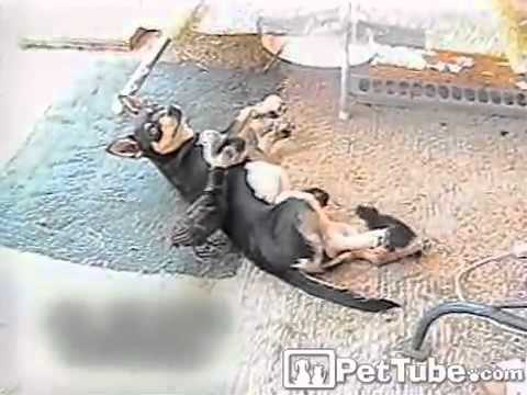 Dog and Her Adopted Chicks- PetTube