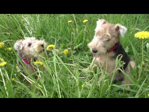 Lakeland Terrier puppies - 20 series.