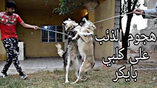 اقوى مواجهة بين الذئب وكلبي بايكر