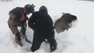Moose Stuck in Deep Snow Gets a Little Human Help