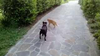 Staffordshire Bull Terrier Vs Gatto