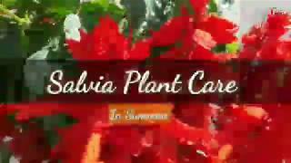 Salvia plant Care / Tips in hindi for summer (सैल्विया प्लांट की देखभाल कैसे करें)