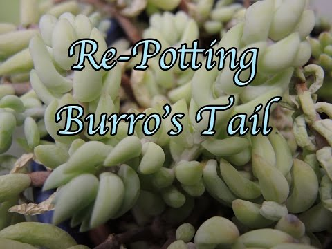Re-potting Burro