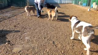 Руми - собака-улыбака играет в мячик