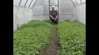 видео Выращивание рассады помидоров в теплице.