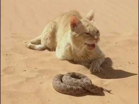 Chat des sables VS Serpent du désert