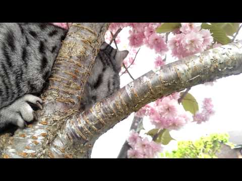 Cat in Cherry Tree Blossom