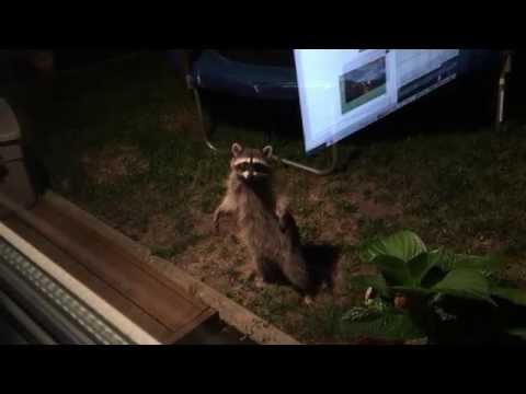 Raccoon In The Back Yard<a href='/yt-w/i8lj1IBszAE/raccoon-in-the-back-yard.html' target='_blank' title='Play' onclick='reloadPage();'>   <span class='button' style='color: #fff'> Watch Video</a></span>
