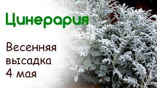 видео Кохия: выращивание из семян, уход, стрижка, использование