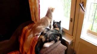 Кошки смотрят в окно