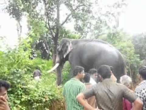 Pampady Rajan...The most Beautiful Elephant at present in Kerala...!!!