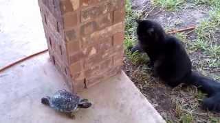 Cat and turtle / Догонялки с черепахой
