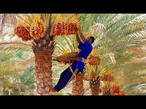 WOW Dates palm Harvesting by Shaking Machine || Packing Dates Modern Agricultural Technology 2018