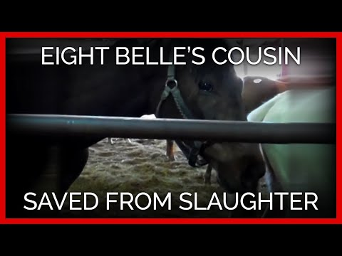 Eight Belles Cousin Saved From Slaughter