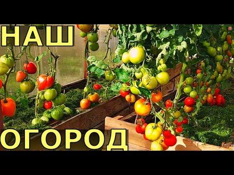 Обзор ОГОРОДА В ЛЕНИНГРАДСКОЙ ОБЛАСТИ в конце августа