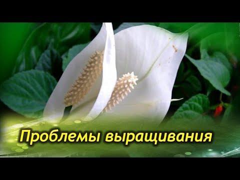 СПАТИФИЛЛУМ погибает и не цветет! Болезни и проблемы выращивания «женского счастья».